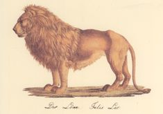 Karl Joseph Brodtmann, Lion, c. 1842. Lithograph from Nâturhistorische Bilder Galerie aus dem Theirreiche. The Swiss artist Karl Joseph Brodtmann (1787-1862) was an expert 19th-century lithographer whose natural history studies capture a wealth of detail. His animal portraits are dignified and convey a sense of respect and wonder for his subjects.