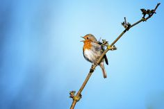 Robin singing in the early morning.