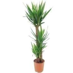 Yucca Yucca - Plantes d'intérieur - Plantes - Jardiland