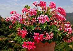 Cum se face altoirea cu ramură detașată, sub scoarța terminală Paradis, Geraniums, Bonsai, Beautiful Flowers, Home And Garden, Gardening, Design, Cottages, Garden Ideas