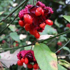 Cool seed head #native #garden. Euonymous americanus