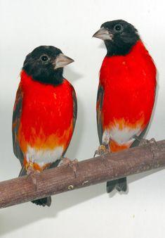 Pintassilgo da Venezuela - Tarin - Aves Ornamentais - Pássaros | Fazenda Visconde