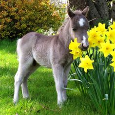 Miniature foal taking time to smell the daffodils
