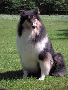 "Three coat colors are recognized for Rough Collies: sable and white, where the ""sable"" ranges from pale tan to a mahogany; tricolor, which is primarily black edged in tan; blue merle, which is mottled gray. All have white coat areas, in the collar, parts of the leg, and usually the tail tip. Some may have white blazes on their faces. In addition, the American Kennel Club accepts white, where the dog is predominantly white with colored markings of sable, tricolor, or blue merle on the head…"