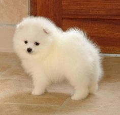 Looks like our Chopper...1/2 Pom, 1/2 American Eskimo....a Pomsky