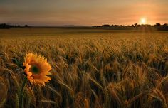 Will you stay with me, will you be my love among the fields of barley. We shall forget the sun in his jealous sky  as we lie in the fields of gold