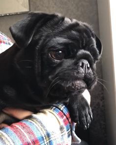 Cute Pugs, Cute Funny Animals, Cute Baby Animals, Cute Puppies, Cute Puppy Videos, Cute Animal Videos, Baby Videos, Brindle Pug, Pug Gifs