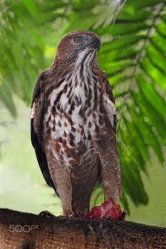 Standing proud by Irawan Subingar / 500px Birds Of Prey, Bald Eagle, Animals, Animales, Animaux, Animal, Animais