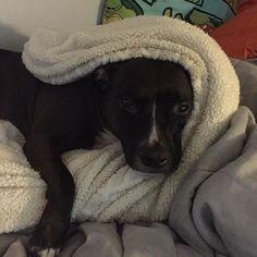 Why so #serious #teamlexi #love #pitbull #pitbulls #pitbullsofinstagram #pitbulllove #ilovemydog #dog #dogs #doglover #dogstagram #dogoftheday #instadog #mylife #mybaby #mikey #family #myotherhalf #babygirl