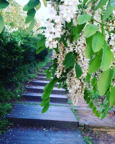 Acacia Flower #acacia #hiking by pkpastel1227