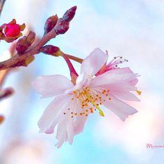 【masumi_fu】さんのInstagramをピンしています。 《🌸cherry blossom🌸 🌸冬の桜🌸 ・ 😫う〜❄️寒っ 冷たい風が➰🍃吹いてます 寒さに負けない🌸冬の桜 さすがです💕 頑張って咲いてます💕💕 😅風が強すぎて うまく撮れない〜〜😭💦 ➰🍂風止んで〜💦と言いながら 💓📷パチリ💗🌸➰🍃 ・ #cherryblossom #flower #cherrytree #bloom #bud #pinkflowers #winter #flowerslovers  #flowerstagram  #rainbow_petals  #lovely_flowergarden  #冬の桜 #桜 #サクラ  #冬に咲く花 #冬に咲く桜  #四季桜 #シキザクラ  #ピンクの花 #ピンク #つぼみ  #冬だけど  #狂い咲きじゃないよ  #花フレンド #はなさんぽ  #はなまっぷ》