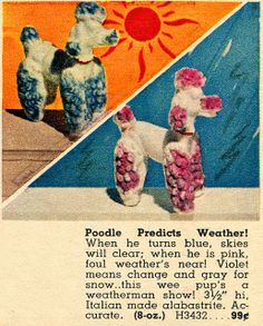 poodle predicts weather