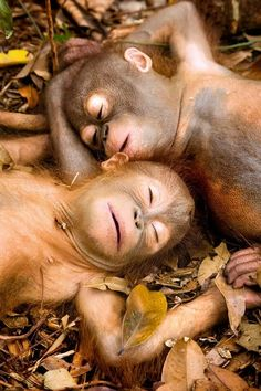 Orphan orangutans relax for the camera: Primates enjoy one another's company…