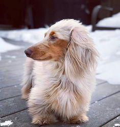 Dog And Puppies Art Gorgous Dachshund.Dog And Puppies Art Gorgous Dachshund Dachshund Breed, Dachshund Funny, Dapple Dachshund, Long Haired Dachshund, Dachshund Love, Daschund, Funny Dogs, Cute Puppies, Cute Dogs
