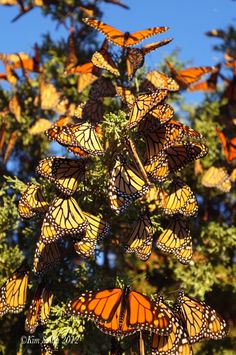 ~~Monarch Butterfly Migration by Kim Smith Photo~~