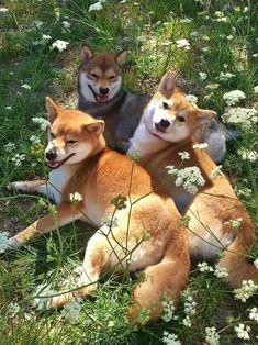 Happy Animals, Animals And Pets, Cute Animals, Cute Puppies, Cute Dogs, Dogs And Puppies, Corgi Puppies, Chien Shiba Inu, Amor Animal