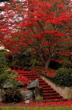 Would be wonderful to have a spectacular autumn tree like this in the garden. Showers red everywhere.