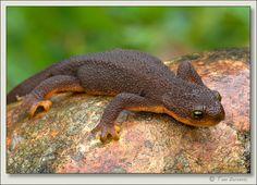 rough skinned newt | Downsized Image [Rough-skinned-Newt-16.jpg - 242kB]