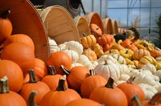 Happy Trivia Tuesday! Fill in the blank: Pumpkins are a member of the  _______   family which includes squash cucumbers and melons.
