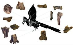 """The newfound skeleton dates back to about 62.5 million to 62 million years ago, making it the oldest known modern bird specimen in North America to live after the dinosaur-killing mass extinction, the researchers said. """"Birds were explosively diversifying right after the end of the Cretaceous, right after the big mass extinction,"""" said study co-author Tom Williamson, curator of paleontology at the New Mexico Museum of Natural History and Science. """"Maybe a dozen or less lineages of birds…"""