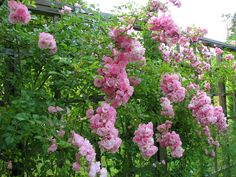 A later addition on the east fence, the climbing rose 'Blushing Lucy' waits politely for the 'Rambling Rector' to finish blooming before she opens her buds. She is a repeat bloomer, but her first show is the best.
