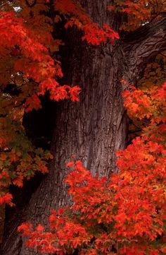 Sugar Maple in Autumn in the White Mountains of New Hampshire.