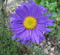 Tuesday, June 8, 2010 Alpine Aster