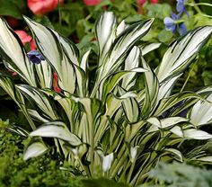 "Hosta ""Fireworks"" - love the shape of this Hosta!"