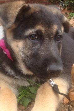 My German Shepard's sweet face. She was so little