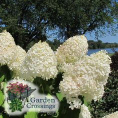 When you think of Hardy paniculata Hydrangeas the one that comes to mind in most cases is Hydrangea 'Limelight'. 'Limelight' is a beautiful flowering shrub but does get upwards of 8 foot which may not work in every garden.