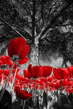 Red Tulips And GreyBlack WhiteGray ColorColor PopBlack White PhotosSplash PhotographyColor
