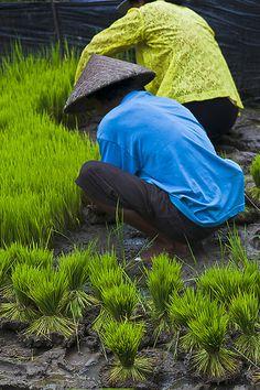 Farmers planting rice, Jatilluwih, Bali