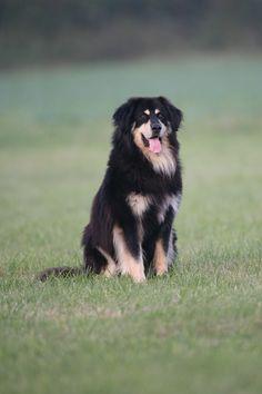 Dream dog. Hovawart!