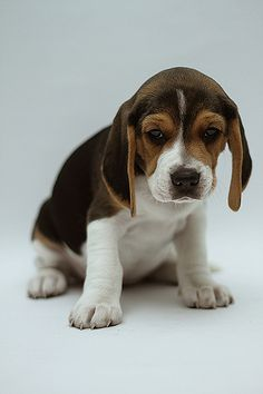 Are you interested in a Beagle? Well, the Beagle is one of the few popular dogs that will adapt much faster to any home. Cute Beagles, Cute Puppies, Cute Dogs, Dogs And Puppies, Art Beagle, Beagle Puppy, Basset Hound, Basset Artesien Normand, Griffon Nivernais