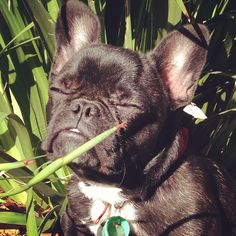 French Bulldog Soakin' Up the Sunshine.