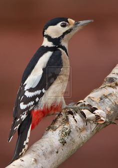 Red Arsed Headbanger - Great Spotted Woodpecker by Jamie-MacArthur on DeviantArt