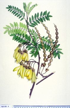Kōwhai, Sophora tetraptera, collected at Tolaga Bay, New Zealand during the first voyage of Sir James Cook on the Endeavour. Coloured Engraving, Medium: Ink And Watercolours On Paper - Date or Bird Illustration, Illustration Artists, Botanical Illustration, Illustration Styles, Illustrations, Botanical Drawings, Botanical Prints, Rose Drawings, Stag Tattoo