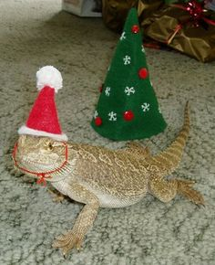 Make a reptile-sized Christmas hat for your bearded dragon! Cut a piece of red felt into a half-circle, bend the shape into a pointed hat and glue or sew the edges. Bearded Dragon Costumes, Bearded Dragon Funny, Pet Lizards, Reptiles, Dragons, Pet Dragon, Pet Costumes, Christmas Hat, Santa Hat