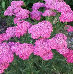 Each Quart-sized Pot contains 1 plant Garden Club, Home And Garden, Yarrow Plant, How To Attract Hummingbirds, Attracting Hummingbirds, Achillea, Beneficial Insects, Plant Sale, Flowers Perennials
