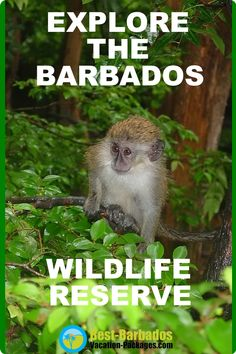 Explore the Barbados Wildlife Reserve an amazing sanctuary where you can feed the Barbados Green Monkey. Barbados All Inclusive, All Inclusive Resorts, Hotels And Resorts, West Coast Hotel, Coast Hotels, Italy Vacation, Vacation Spots, Inclusive Holidays, Nocturnal Animals
