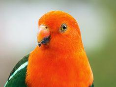 Australian King-Parrot (Alisterus scapularis) | Wamboin, NSW, Australia. Male.
