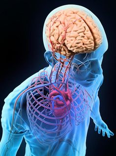 Now, a study from researchers at the Sapienza University of Rome has used a new imaging technique to identify people with high blood pressure that also have damage to nerve tracts connecting different parts of the brain.  The team state that the area of brain damage detected is linked to difficulties in certain cognitive skills, decision-making, and the ability to regulate emotions.  The study was presented at the AHA's 2015 High Blood Pressure Conference.