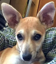 Perry is an adoptable Terrier searching for a forever family near Oakland, CA. Use Petfinder to find adoptable pets in your area.
