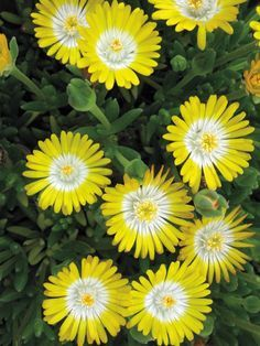 "Delosperma cooperi 'Jewel of the Desert Peridot'  (Rise & Shine)--blooms late spring to mid fall, full or partial sun, 2-3"" tall, space 12-24"" apart."