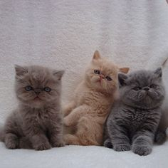 Wasabi, Mochi, and Miso, a trio of Persian kittens! So Cute!!!!!! :)