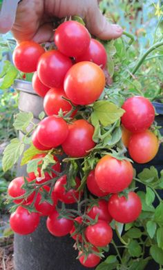 Whippersnapper Cherry Tomato: Early.  If you've been looking for a tomato to grow in containers and hanging badkets that has great flavor and is very earlly, you will love Whippersnapper.  The plant we grew in a 3-gallon pot produced literally hundreds of tomatoes, almost covering the foliage.  In the ground, quite a sprawling plant.  Grape-shaped, sweet fruit.  Needs less sun than other tomatoes.  Thanks to Dan Ludwig for sending seed for this gem.