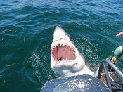 Gans Baai - White Shark