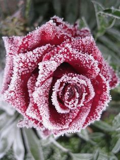 Pink Rose in Snow ☄ #Winter