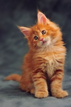 How do you know if a kitten is a Maine Coon? - Cats - cats - katzen - How do you know if a kitten is a Maine Coon? Cats cats How do you know - Cute Baby Cats, Cute Cats And Kittens, Kittens Cutest, Cute Dogs, Funny Kittens, Pretty Cats, Beautiful Cats, Beautiful Pictures, Maine Coon Kittens