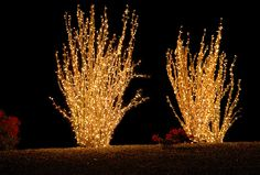 ocotillo cactus strung with lights.